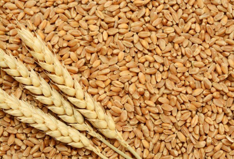 Dia 10 de novembro – dia do trigo – veja os 12 benefícios do trigo para saúde